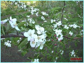 つがる花盛り_2012-5-31.JPG