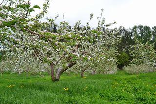 りんごの花満開2017.jpg
