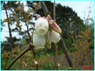 ブルーベリーの花_2011-06-04.JPG