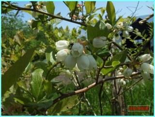 ブルーベリーの花_2012-6-8.JPG