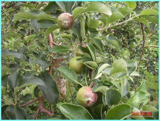 リンゴの実の成長-つがる_20120708.JPG