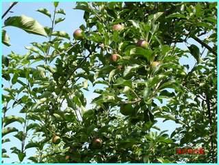 リンゴの実の成長-つがる_20120722.JPG