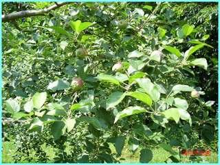 リンゴの実の成長-ふじ_20120722.JPG