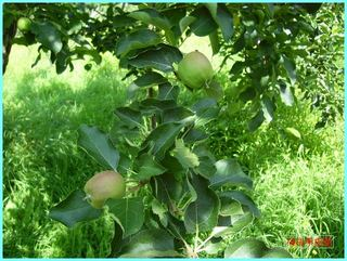 リンゴの実の成長-むつ_20120722.JPG