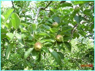 リンゴの実の成長-レッド_20120722.JPG