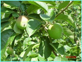 リンゴの実の成長-旭_20120722.JPG