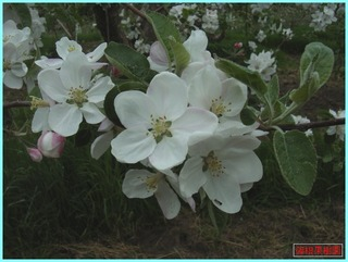 リンゴの花1_2011-06-04.JPG