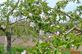 リンゴの花1_20150512.JPG