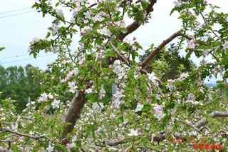 リンゴの花2_20150512.JPG