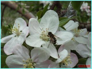 リンゴの花と小蜂_2011-06-04.JPG