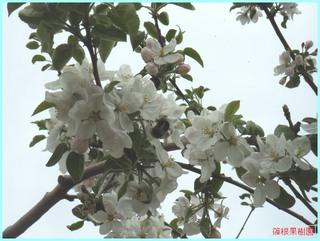 リンゴの花と熊蜂_2011-06-04.JPG