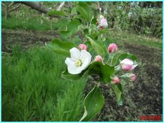 リンゴの花咲き始め1_2011-5-29.jpg