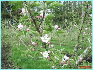 リンゴの花咲き始め2_2011-5-29.jpg