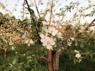 リンゴの花拡大2014.JPG