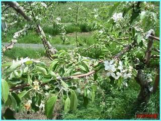 リンゴの花散り1_2011-6-10.JPG