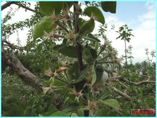 リンゴの花散り2_2011-6-10.JPG