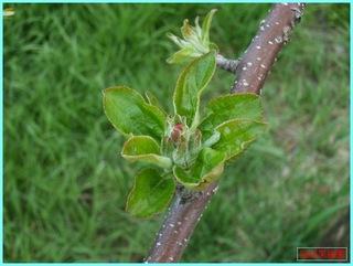 リンゴの花芽_2011_5_19.JPG