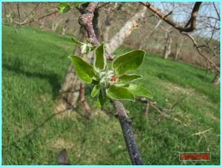 リンゴの花芽_2012-5-6.JPG