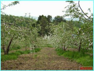 リンゴの花遠景_2011-06-04.JPG