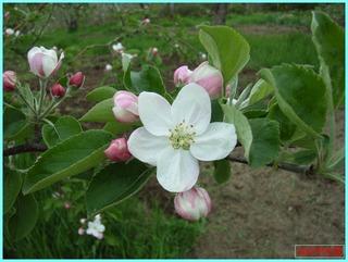 リンゴの花_2011-5-30.JPG