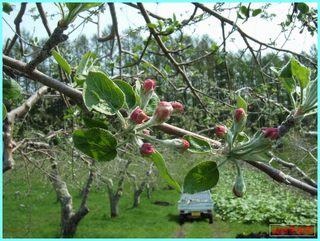 リンゴ花芽_2011-5-26.JPG