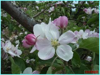 レッドゴールド花_2011-6-5.jpg