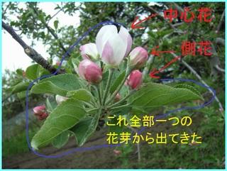 側花がわかる花芽_2011-5-30.JPG