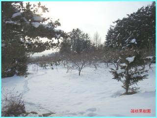 冬のリンゴ園1_2011-12-15.JPG