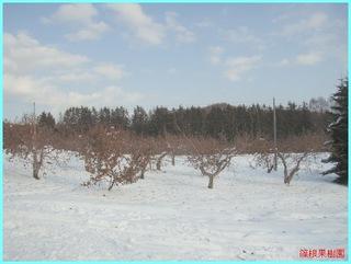 冬のリンゴ園3_2011-12-15.JPG