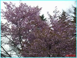 桜散り始め_2011_5_21.JPG
