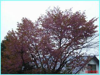 桜散る_2012-5-11-1.JPG
