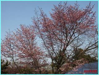 桜開花1_2011.JPG