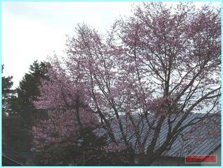 桜開花_2012-5-4.JPG