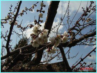 梅の花_2-12-5-6.JPG