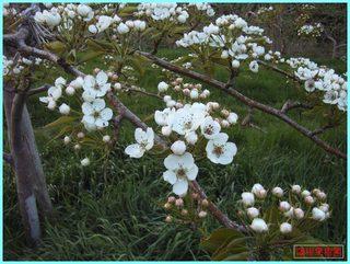 梨開花1_2011-5-26.JPG