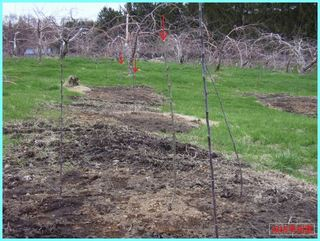 植えた直後のリンゴの苗_2011.JPG