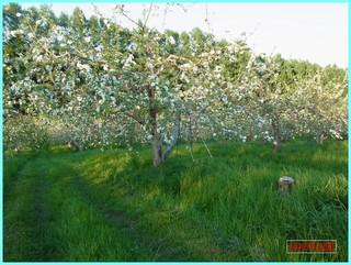 満開のリンゴ_2013_6_7.JPG