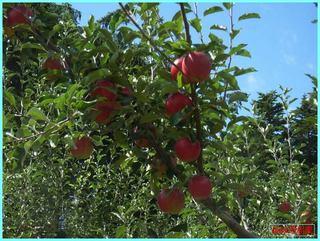 紅つがる1_2011-9-25.JPG