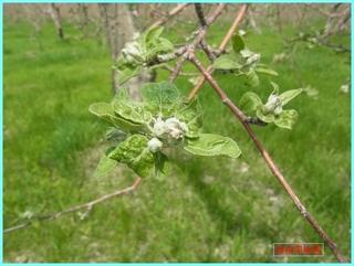 花芽が開いて来ましたリンゴ_2013_5_27.JPG