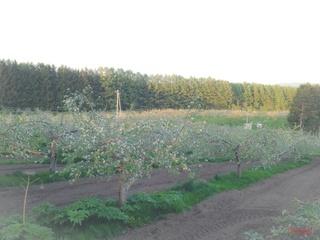 高い所からリンゴの開花を眺める2014.JPG
