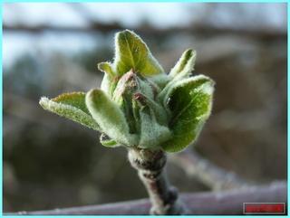 リンゴの花芽横_2011.jpg