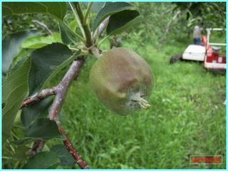 リンゴの実の成長-むつ_20120708.JPG