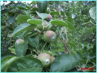 リンゴの実の成長-旭_20120708.JPG