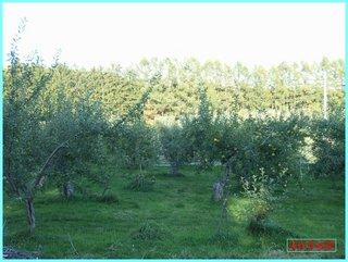 収穫後の果樹園1_2011-10-19.JPG