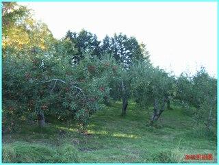 収穫後の果樹園2_2011-10-19.JPG