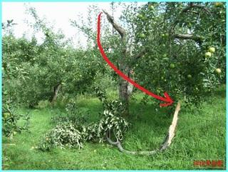 折れたリンゴの樹_2011-9-7.JPG